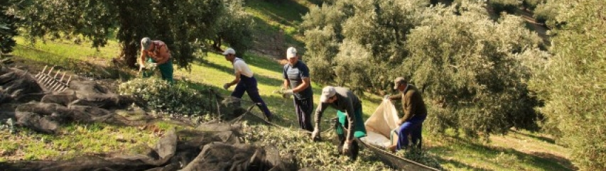 Olive harvest spain