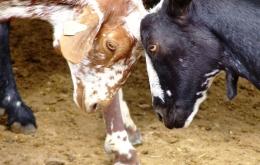 Probar el famoso Queso de Cabra de la zona, y disfrutar de la Feria de Quesos en Zuheros (Septiembre).