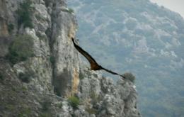 Casa Olea walking birding Andalucia griffon vulture