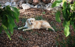 """Ruby - once a stray, now our lovely """"house dog"""" and your personal walking companion!"""